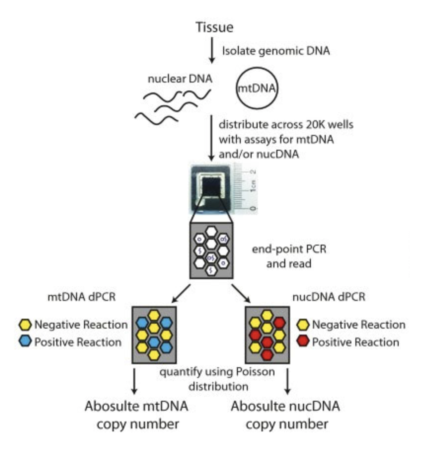 Mitochondrial Genome Copy Number